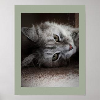 Poster siberiano sensacional del gato póster