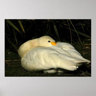 Poster - Sitting Bewick Swan
