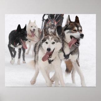 Póster sled dog racing impresiones