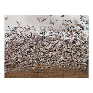 Poster / Snow Geese Flock