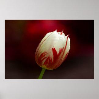 Poster solitario rojo y blanco del tulipán