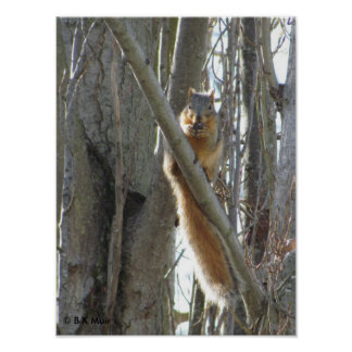 Poster - Squirrel in tree