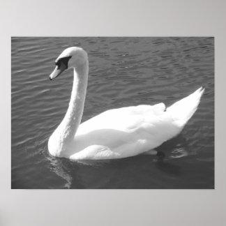 Poster - Swan in  Black & White