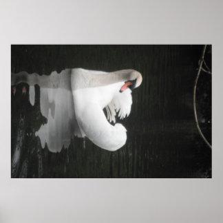 Poster Swan Swimming