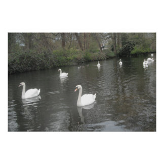 Poster Swans Swimming