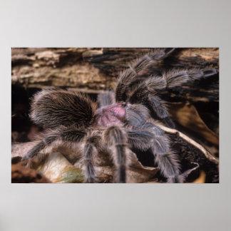 Poster - tarantula subió chile