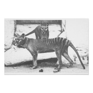 Poster tasmano del tigre, lona