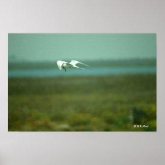 Poster - Tern in flight