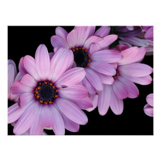 Poster, Three Purple Daisies Poster