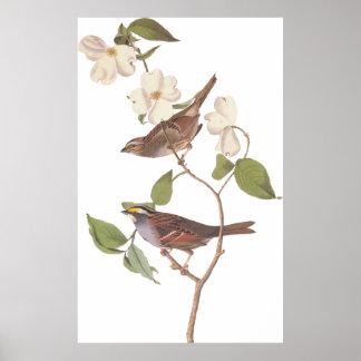 Poster Throated blanco del pájaro del gorrión