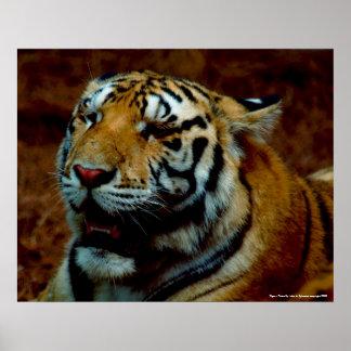 Poster -  Tiger - Photo By: John A. Sylvester ...