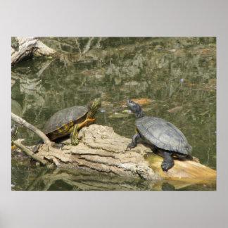 Poster--Tortugas pintadas