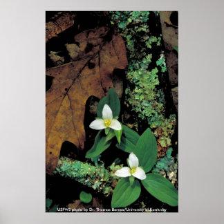 Poster/Trillium de nieve