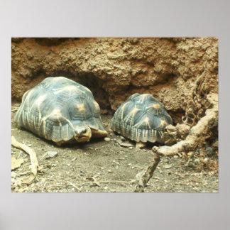 Poster Turtles