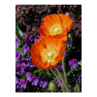 Poster, Two Orange Iceland Poppies Poster