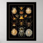 Poster Vintage Artist Ernst Haeckel Arachnida Poster
