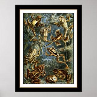 Poster Vintage Artist Ernst Haeckel Batrachia