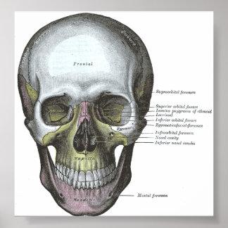 Poster--Vista frontal del cráneo Póster