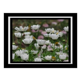 Poster - White Daisy Flowers