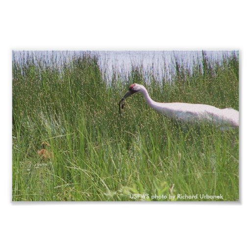 Poster /  Whooping Crane Feeding Chick