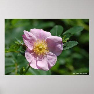 Poster WIld Rose - Photo By: John A Sylveste...