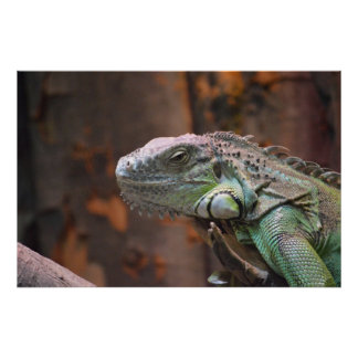 Poster with colourful Iguana lizard