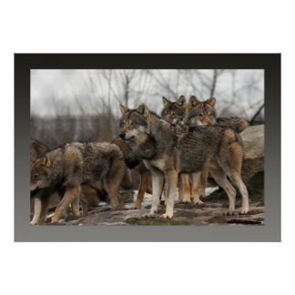 poster wolfpack