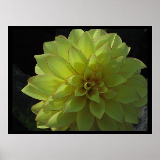 Poster - Yellow Dahlia Flower