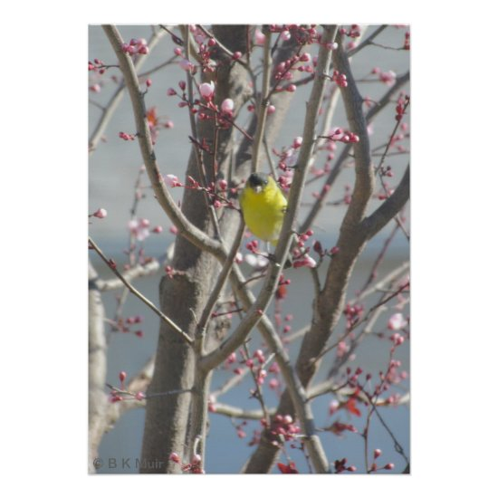 Poster - Yellow Finch in Cherry tree