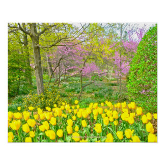 Poster, Yellow Tulips and Redbud Trees Poster