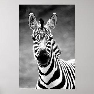 POSTER ZebraPhoto By John A. Sylvester