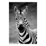 POSTER ZebraPhoto de Juan A. Sylvester