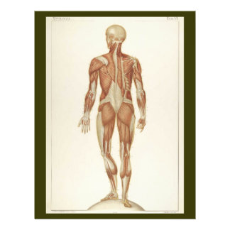 Posterior Muscles Flyer