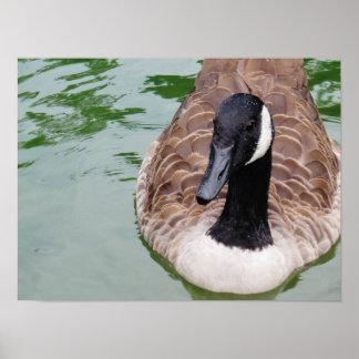 Posters de la foto del ganso de Canadá