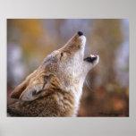 Posters del coyote del grito