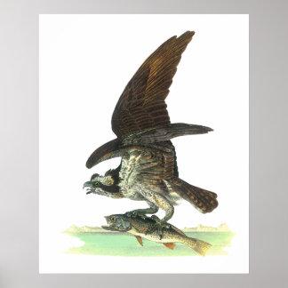 Posters/impresión: Osprey - Juan Audubon