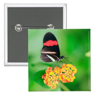 Postman rosina butterfly collecting nectar from button