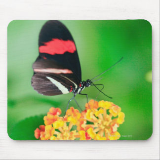 Postman rosina butterfly collecting nectar from mouse pad
