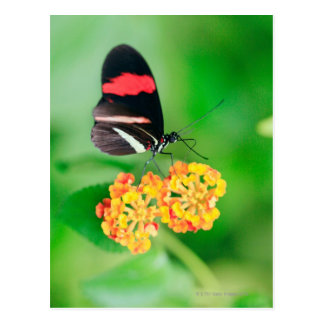 Postman rosina butterfly collecting nectar from postcard