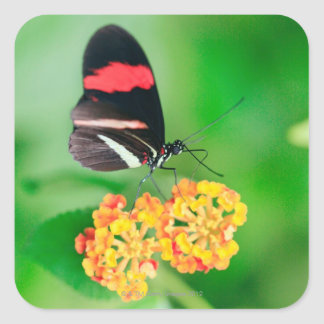 Postman rosina butterfly collecting nectar from square sticker