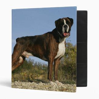 Postura de la exposición canina del boxeador