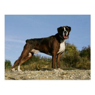 Postura de la exposición canina del boxeador postal