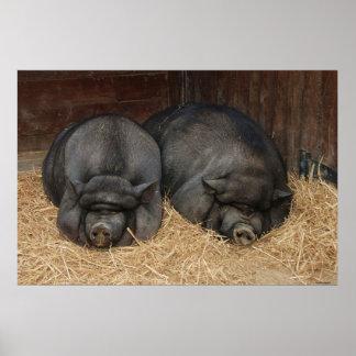 Pot Bellied Pigs Huge Poster Print