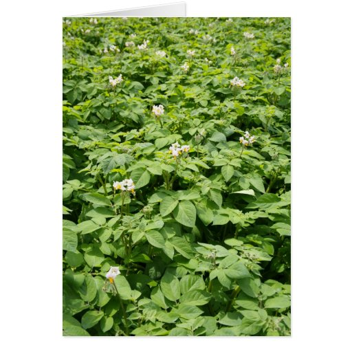 Potato field card