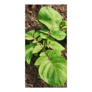 Potato plant card