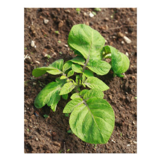 Potato plant flyer
