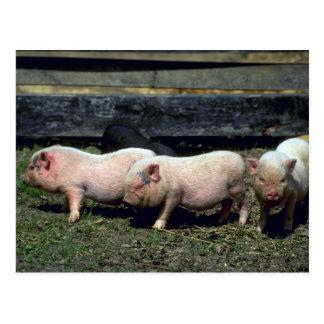 Potbelly Pigs Postcard