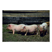 Potbelly Pigs Poster