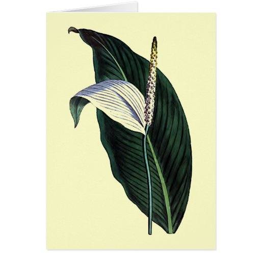 Pothos Cannaefolia Greeting Card