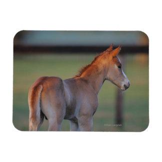 Potro cuarto del caballo iman flexible
